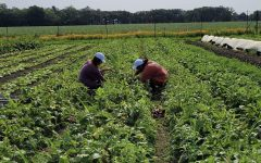 Volunteers work on the farm to harvest beets. Volunteer work is a really important part of Smart Farms start and growth. It was a really fun experience, Alexia Lee, 23, said.